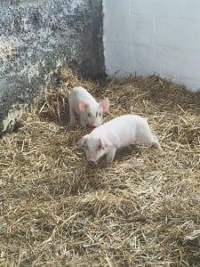 Baby Pigs 2016