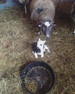 Baby Sheep 2016 3