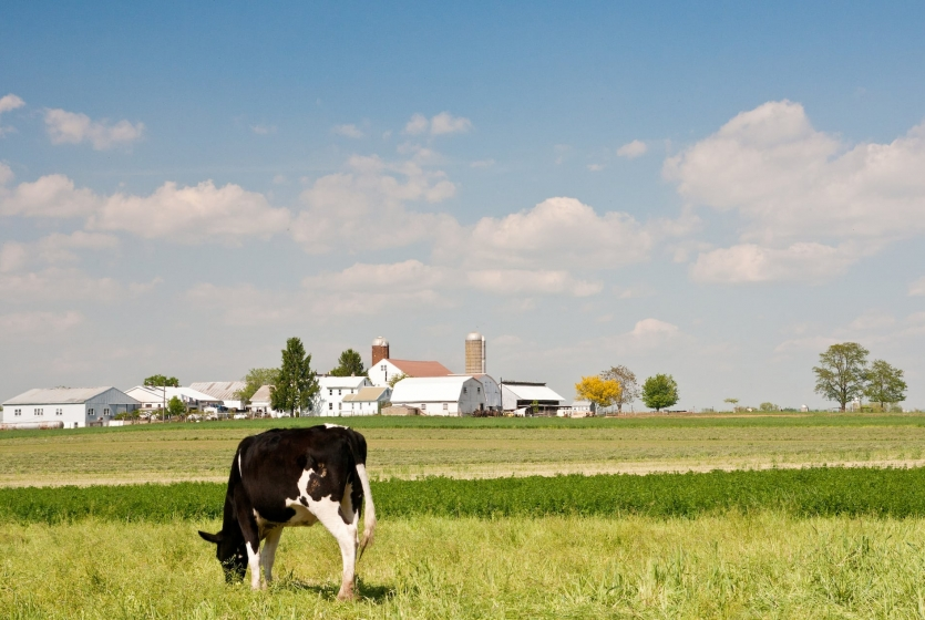 Amish farm with a cow