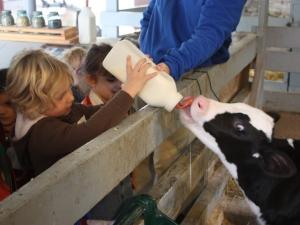 Kid feeding a baby cow