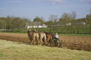 Amish farmer plowing farm