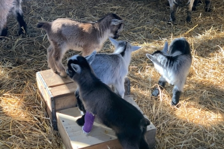 Three baby goats standing on a platform with one dark gray goat with a purple cast. Another baby goat stands next to the platform.